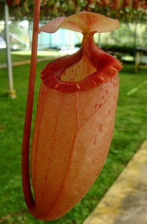 Nepenthes sibuyanensis 'Red Pitcher'