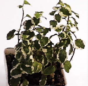 Creeping Fig- Variegated