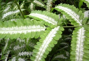 Pteris quadriaurita 'Silver Brake Fern'