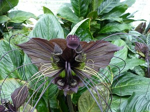Tacca chantrieri (Black Bat Flower)