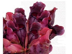 "Sarracenia purpurea venosa ""Red"""