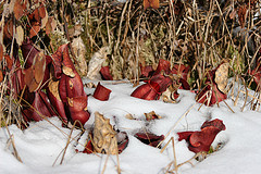 Sarracenia in Winter