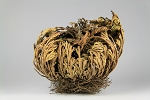 Resurrection Plant- Selaginella lepidophylla