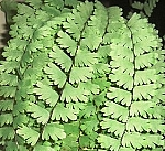 3 Plant Fern Collection