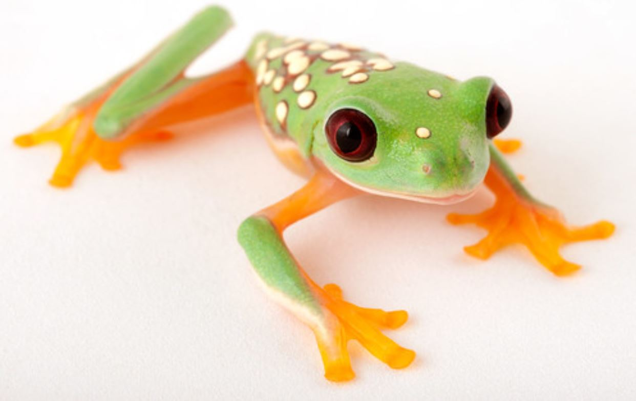 Agalychnis spurrelli (Captive bred Gliding Tree Frog) - Sub-Adult
