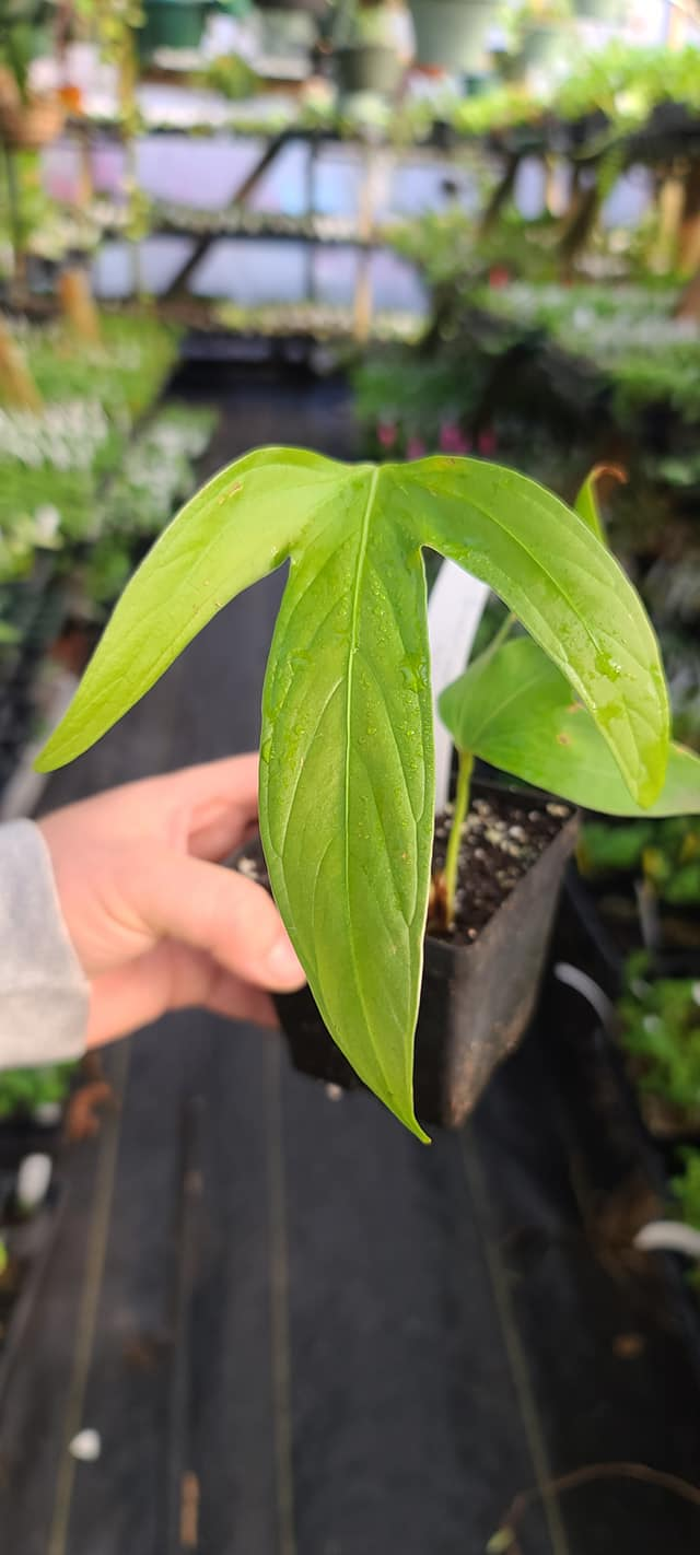 Anthurium furcatum (well started seedling)