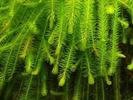 Mayaca fluviatilis - Bunch