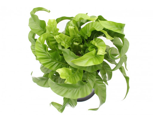 Bird's Nest Fern - Asplenium antiquum 'Hurricane'