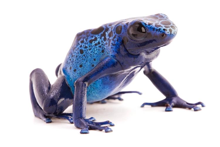 Back in Stock! - Dendrobates azureus - (froglet)