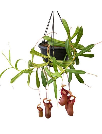 Nepenthes ventricosa x sibuyanensis - Medium