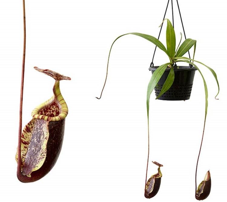 Nepenthes rafflesiana x sibuyanensis