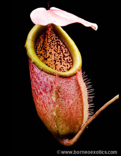 Nepenthes merrilliana (LARGE)