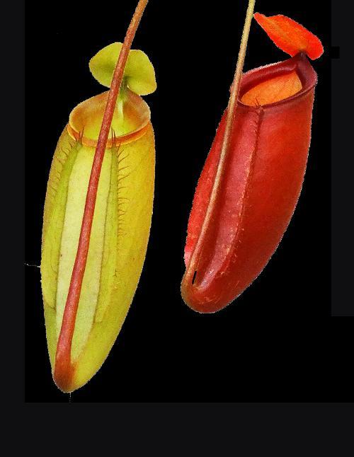 Nepenthes ampullaria x mira