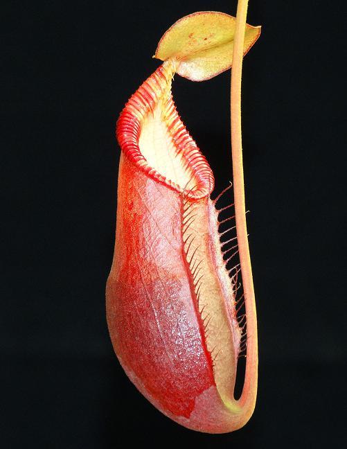 Nepenthes diatas