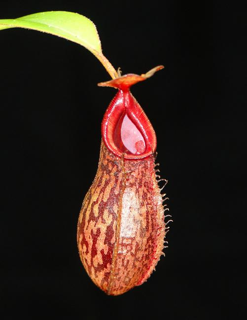 Nepenthes x [ramispina x aristolochioides]