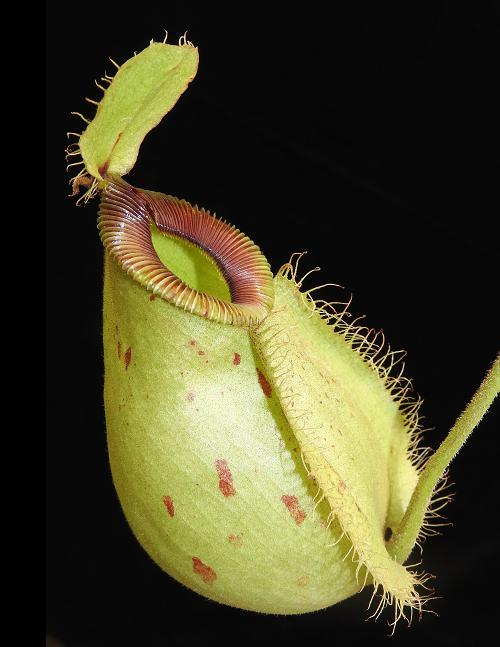 Nepenthes ampullaria x hamata - Lumut (BE-3948)