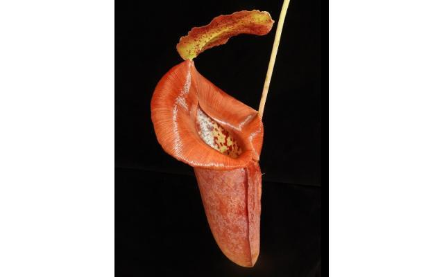 Nepenthes robcantleyi x jacquelineae
