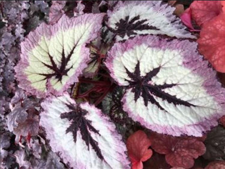 Begonia Harmony's 'Fire Woman'