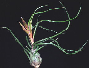 Tillandsia bulbosa - Large