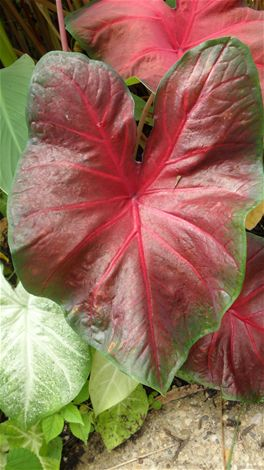 Caladium 'Red-Bellied Tree Frog'