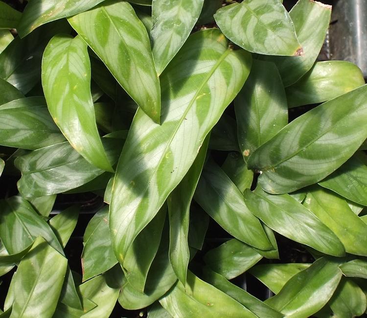 Calathea Lance Leaf