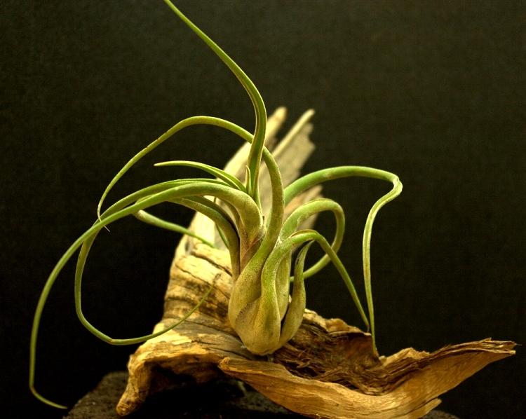 "Tillandsia caput medusae - Large - 6"""