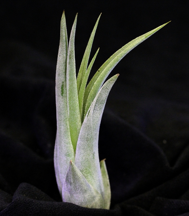 Tillandsia circinata - Medium