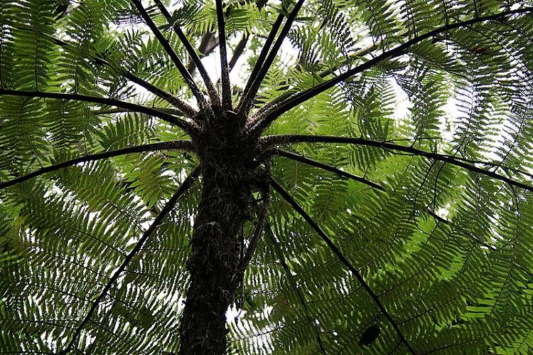 Australian Tree Fern - Cyathea cooperi 'Brentwood'