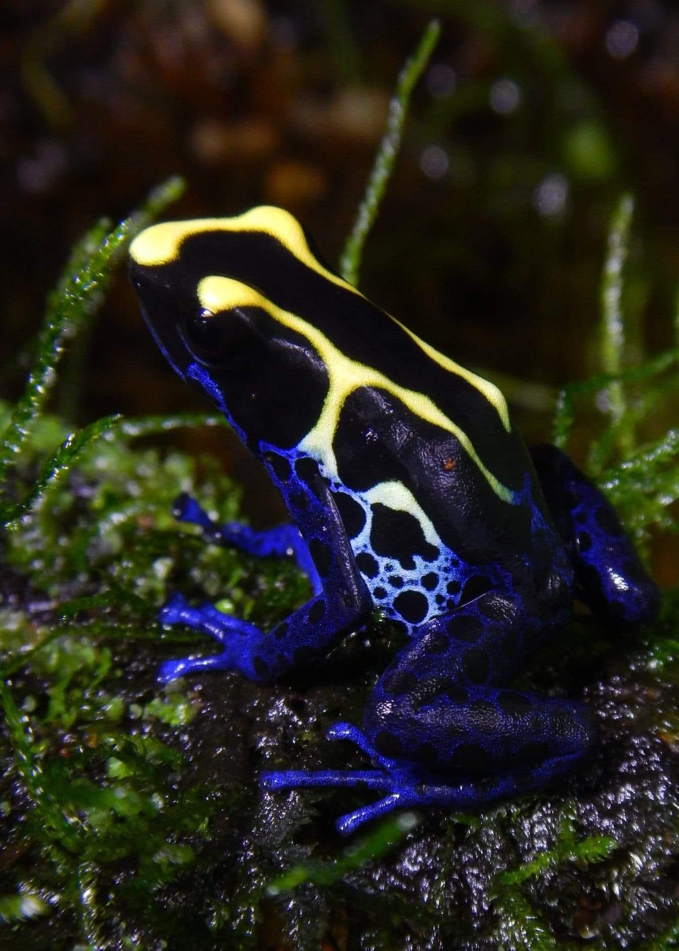 Dendrobates tinctorius 'Dwarf Cobalt' (froglet)