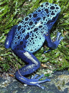 Dendrobates azureus - Adult Female