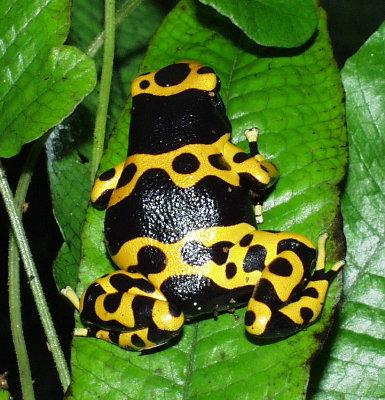 Poison Dart Frog - Dendrobates leucomela (froglet)