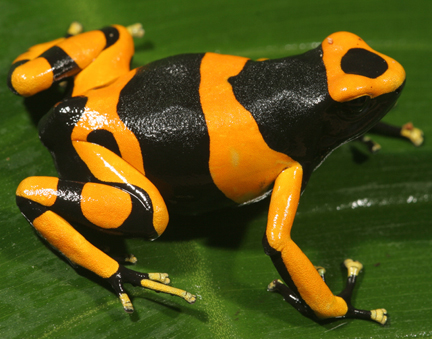 D. leucomela - British Guyana (froglet)