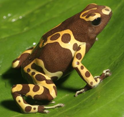 Dendrobates leucomela 'Chocolate' froglet