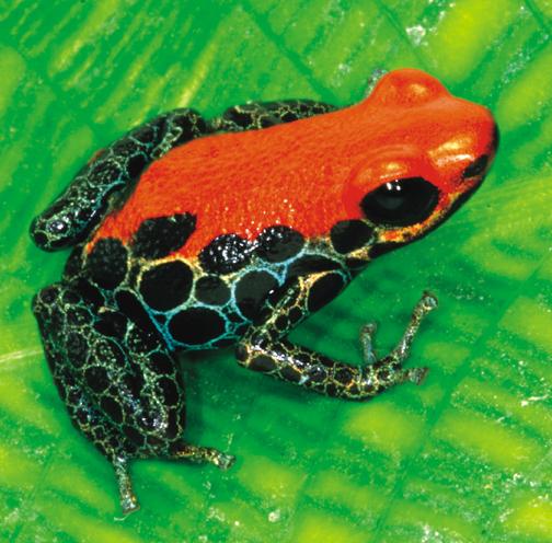 Poison Dart Frog - Ranitomeya reticulata - froglet