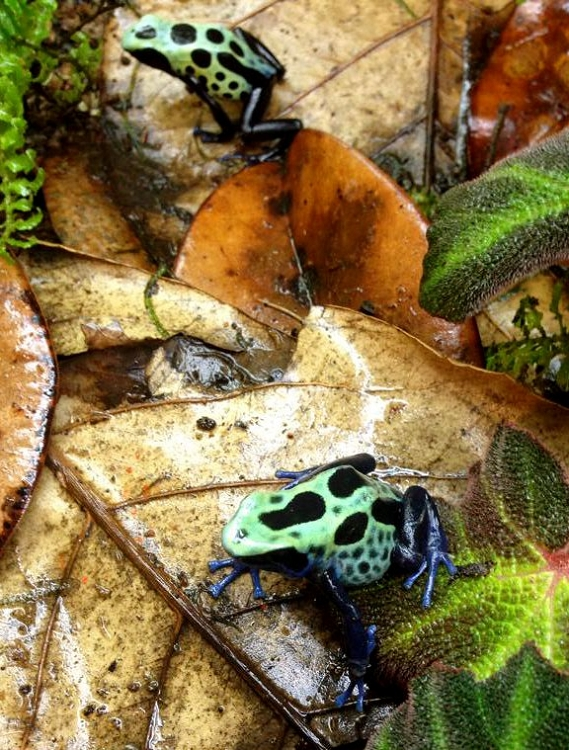 Dendrobates tinctorius 'Lime Green Sipaliwini' (froglet)