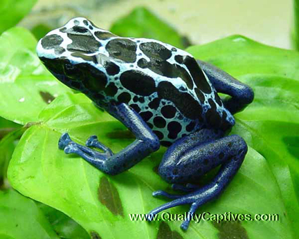 Dendrobates tinctorius 'New River' - Adult Male