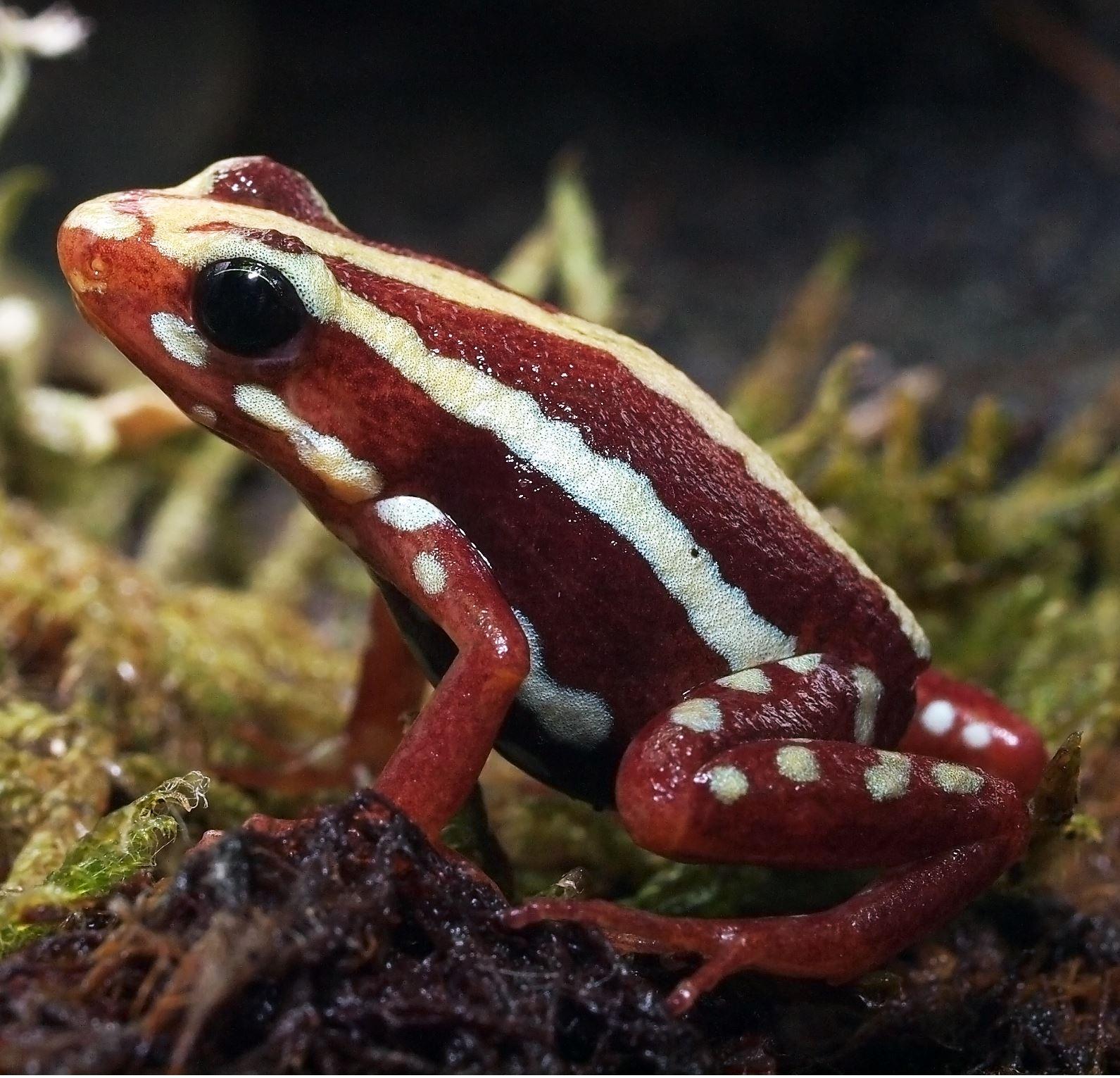 Epipedobates anthonyi 'Santa Isabel' - froglet