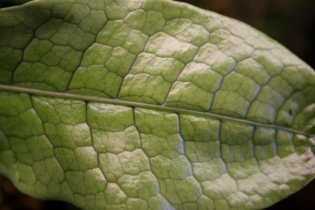 Microsorum musifolium 'Crocodyllus'