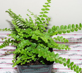 Fern - Nephrolepis cordifolia 'duffii' (Lemon Button Fern)