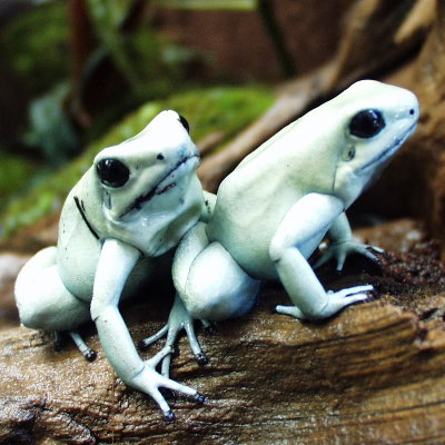 Phyllobates terribilis (mint) - froglet