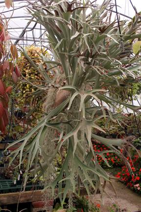 Staghorn Fern - Platycerium veitchii 'Lemoinei'