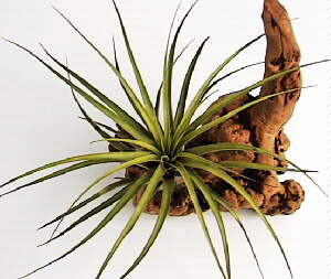 Tillandsia fasciculata - Medium