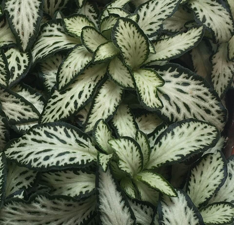 Fittonia 'Mini Lance Leaf'