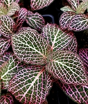 Fittonia - Pink