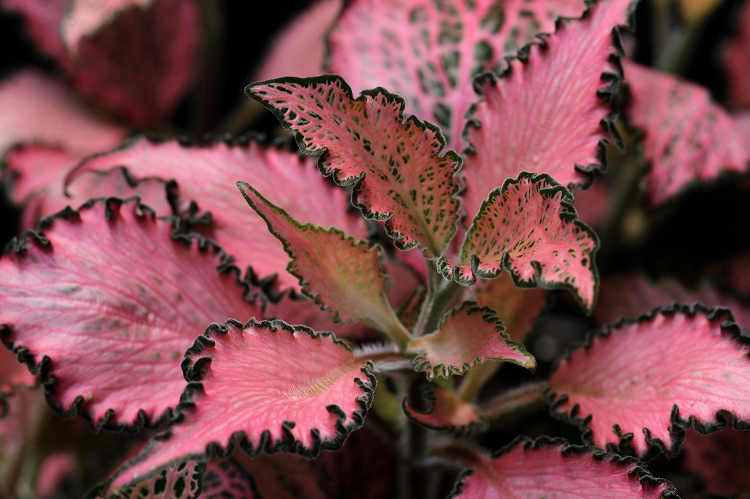 """Fittonia - """"Pink Crinkle"""""""