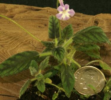 Sinningia muscicola ('Rio das Pedras')  Micro-Mini