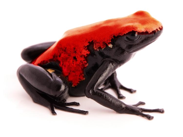 A. galactonotus 'Red' (froglet)