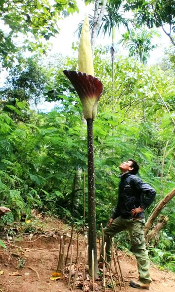 Amorphophallus gigas (Young plant or tuber)