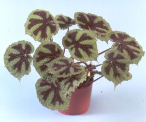 "Begonia masoniana ""Iron Cross"""