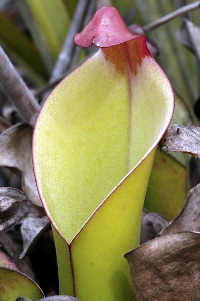 Heliamphora heterodoxa (Gran Sabana)